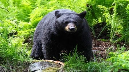 Black Bear Hunting Season Opens Until 2016