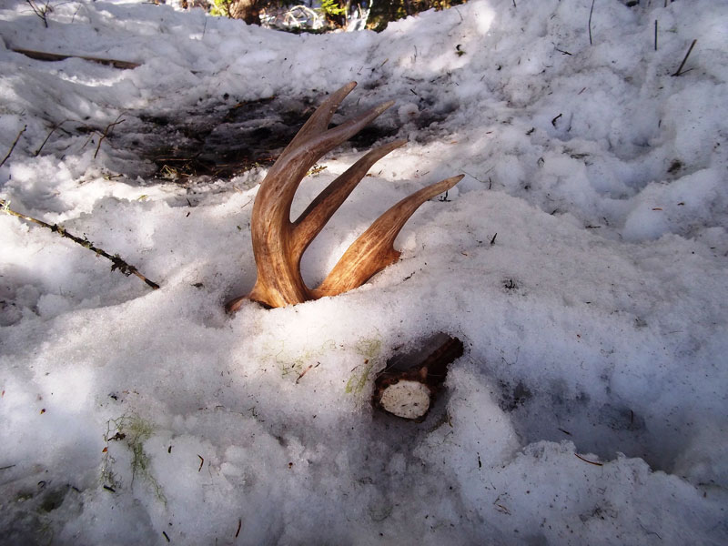 For Deer Hunter How To Finding Shed Antler The Best And