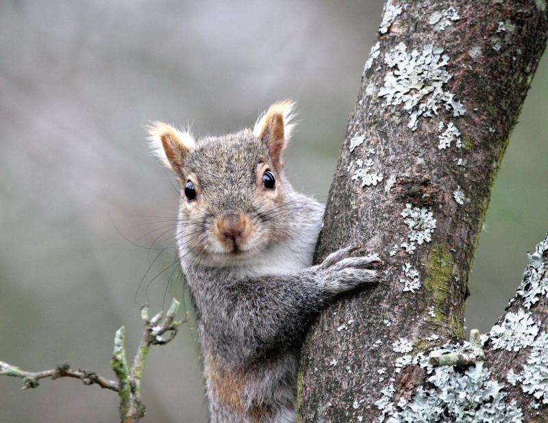 How to hunt the grey squirrel