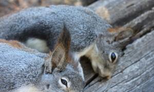 Squirrel warm season hunting tips 04