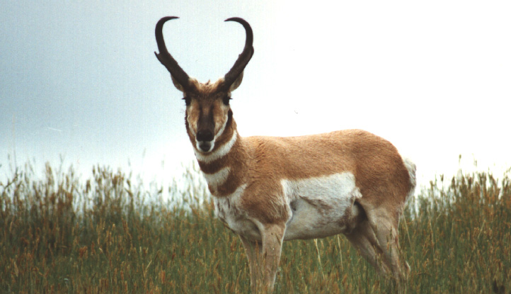 Pronghorn Antelope buck hunting tips 02