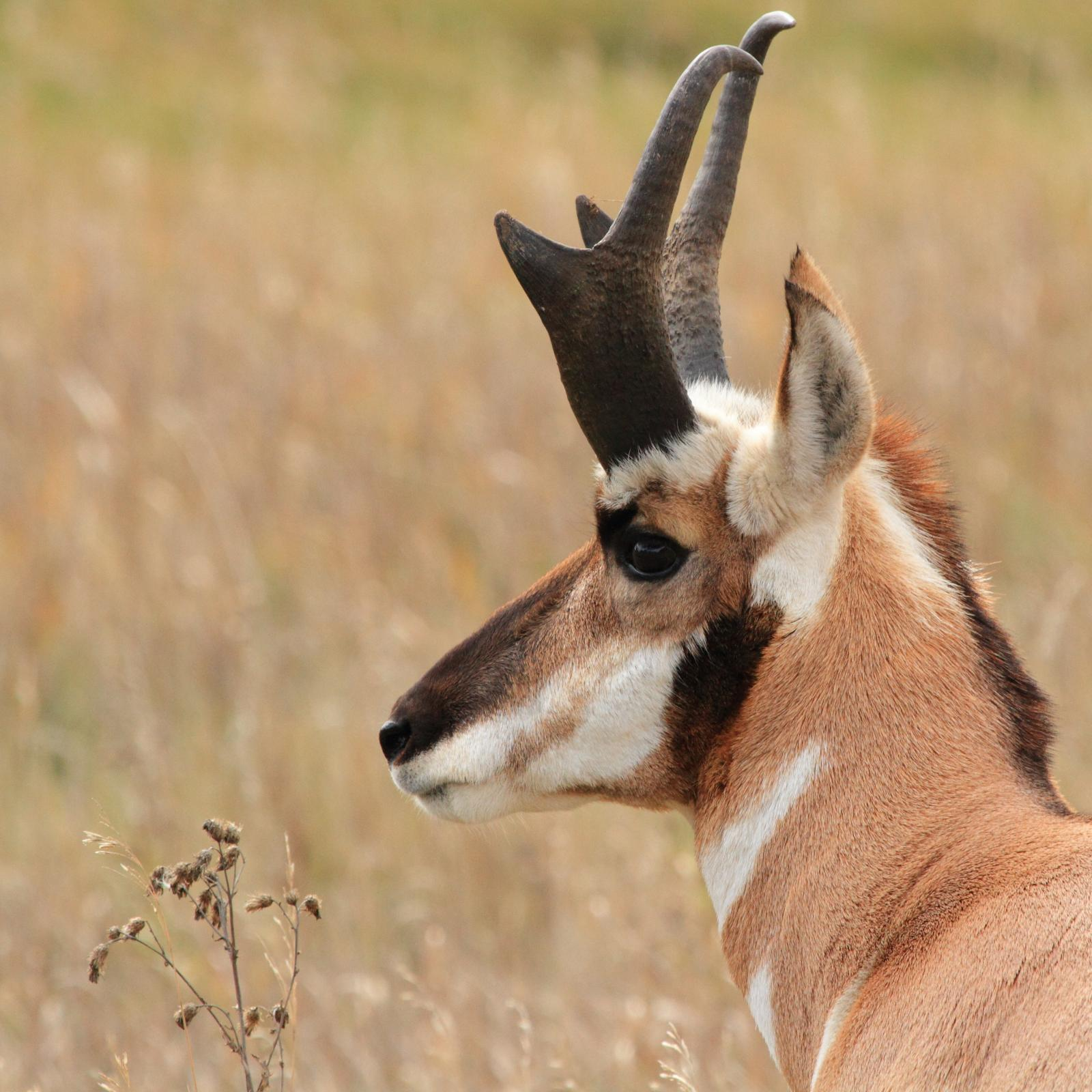Pronghorn Antelope buck hunting tips 03
