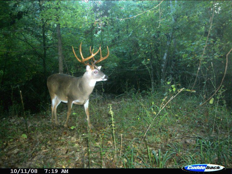 A rut buck deer