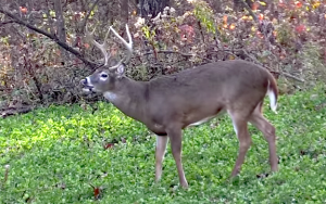 Wind can wreak havoc on even the best laid plans for a hunt. Hinge cutting different areas to create funnels deer move through can help you battle the wind by setting up stands in specific spots near the hinge funnels.