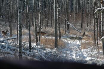 As snow depths increase, deer become stressed to find enough food to keep them healthy