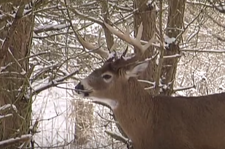Deer in northern latitudes endure harsh winters