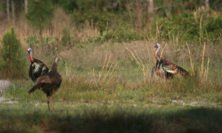 Osceola turkeys