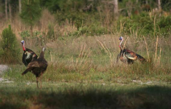 Osceola turkeys