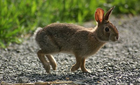 cottontail rabbit hunting is hard than before