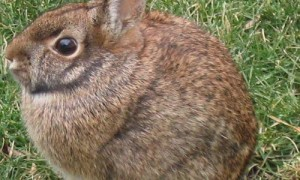How to hunt the cottontail