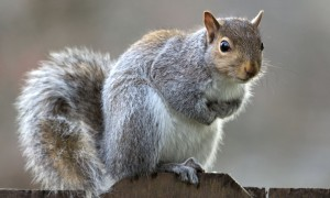 How to hunt the grey squirrel 02