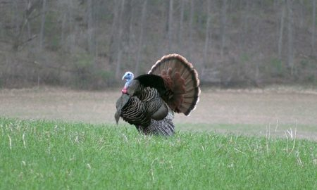 Full Strut Turkey Decoy
